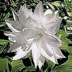 Hosta Venus bloom