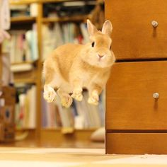 うれしくって、ジャンプしちゃったぴょん たくさんの方に動画を視聴していただき、ありがとうございました Thank you for watching Pyonta's movie. ♪ #うさぎ #rabbit #ネザーランドドワーフ #bunny #るんるんジャンプ#ふわもこ部