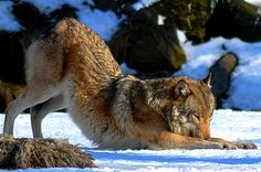 """""""Wolf-Yoga"""" by Cover-Art"""