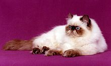 Persian (cat) - Wikipedia, _Himalayan or Colorpoint Longhair was created by crossing the Persian with the Siamese.This crossing also introduced the chocolate and lilac color into solid colored Persians.>>>ew523#CAT#HIMALAYAN