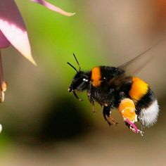 This simple trick could help you to save an endangered bumble bee - http://www.goodhousekeeping.co.uk/news/trick-could-help-save-bumble-bee-sugar-syrup-endangered-species