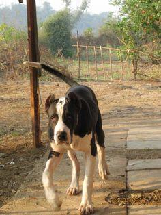 30 Best Bully Kutta Images Mastiffs Dogs Dog Breeds