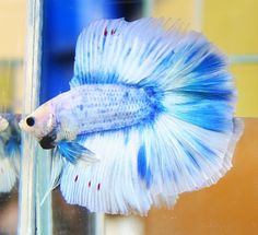 Blue marble doubletail This looks just like my Dr. Pretty Fish, Cool Fish, Beautiful Fish, Colorful Fish, Tropical Fish, Freshwater Aquarium, Aquarium Fish, Beta Fish, Beta Beta
