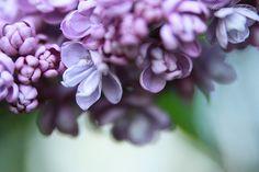 Arboretum Double Lilac