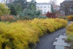 Here's Amsonia hubrichtii in November at the Scott Arboretum near Philadelphia.  Wowzer.
