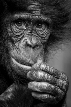Zoo holds stunning photographic competition - here are the winners Animals Black And White, Black And White Drawing, Wild Photography, Animal Photography, Animal Sketches, Animal Drawings, Drawing Animals, Primates, Beautiful Creatures