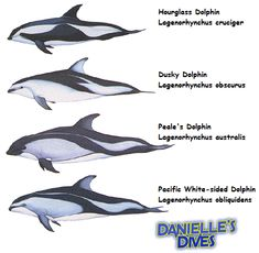 After being exposed to the travesty of dolphin slaughtering this past week when I watched The Cove for the first time, I have become even more interested in our fascination with dolphins. The term …