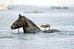 Horse Saves Blind Dog from Drowning! A dog named Abby is lucky to be alive after a horse came to her rescue during her greatest time of need. Horses are not just an animal there like a kind loving person Horses And Dogs, Animals And Pets, Funny Animals, Cute Animals, Race Horses, Wild Animals, Baby Animals, Beautiful Horses, Animals Beautiful