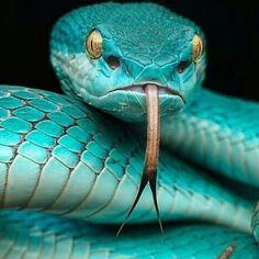 LA véritable langue de vipère... / Blue pit viper. / Photo by Shikhei Goh. / By wildlifeowners.