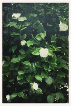 Buissons de Camélias, la fleur fétiche de Mademoiselle Chanel, au défilé haute couture automne-hiver 2012/13 de Chanel // Bushes of camelias, Mademoiselle Chanel's favorite flower, at the Chanel Fall/Winter 2012-2013 haute couture show