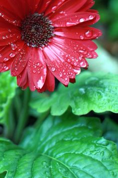 visit http://www.squidoo.com/top-tips-to-help-you-achieve-success-with-your-having-the-gerberas