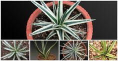 Scenescape is the single destination for rare succulents and plants. We raise over 2000 varieties in agave, aloe, haworthia, gasteria and other variegated succulents in India.