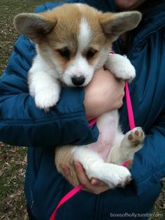 one day i will have my own corgi puppy. until then, i will continue to stalk anyone i see that has one.