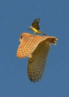 Catching a ride? In fact small birds mob birds of prey such as this Barn Owl. Beautiful Owl, Animals Beautiful, Cute Animals, Funny Animals, Funny Pets, Wild Animals, Funny Jokes, Exotic Birds, Colorful Birds