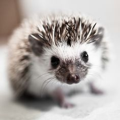 A baby African pygmy hedgehog, so small and full of character. Great fun to shoot and very cute.