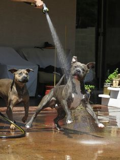Pitties having fun in the sun :) Pit Bull Love 💖💖💖 Amstaff Terrier, Pitbull Terrier, Pit Bulls, I Love Dogs, Cute Dogs, Animals And Pets, Cute Animals, Funny Animals, Nanny Dog