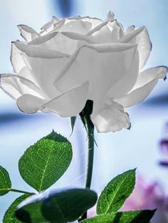 121 Mejores Imágenes De Rosas Blanca White Roses White Flowers Y