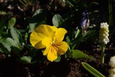 Orvokki aamuauringossa | Vesan viherpiperryskuvat – puutarha kukkii