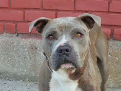 ~~HANDSOME 3 YR OLD TO BE DESTROYED 7/15/14~~ Brooklyn Center -P  My name is THUNDER. My Animal ID # is A1005927. I am a neutered male gray and white pit bull mix. The shelter thinks I am about 3 YEARS old.  I came in the shelter as a OWNER SUR on 07/08/2014 from NY 11429, owner surrender reason stated was MOVE2PRIVA. I came in with Group/Litter #K14-185025