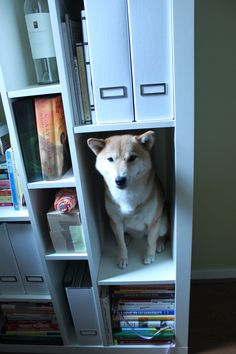 Shiba Shelf, how to properly store and organize your shiba inu.