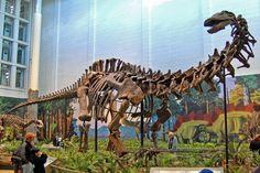 Squelette monté de l'holotype du dinosaure Sauropodomorpha Diplodocidae Apatosaurinae Apatosaurus louisae CMNH 3018, Carnegie Museum of Natural History. Auteur : Tadek Kurpaski. 2009