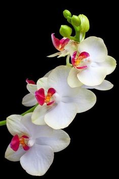 Rare Flowers, Exotic Flowers, Tropical Flowers, Amazing Flowers, Beautiful Flowers, Growing Flowers, Planting Flowers, Good Morning Flowers, Orchidaceae
