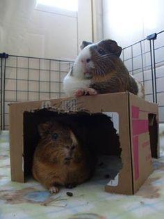 Quando eu tinha porquinhos-da-Índia eles roía toda a caixa