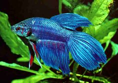 Betta Fish Siamese Fighters Equipment General Care Things Need Tank bettas love swim enjoy tank where possible litres small bowels require regular water changes using filter suggest using tablets help remove ammonia keep more stable level together wi Betta Fish Types, Betta Fish Care, Beta Fish, One Fish, Colorful Fish, Tropical Fish, Freshwater Aquarium, Aquarium Fish, Siamese Fighting Fish