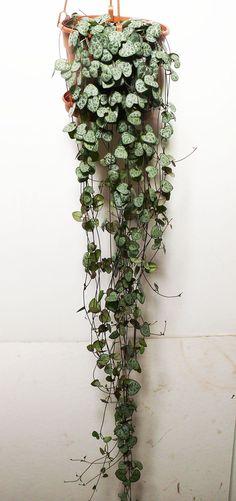 Large CEROPEGIA WOODII - String of Hearts, 16cm hanging pot. 80cm -100cm Vine: Amazon.co.uk: Garden & Outdoors