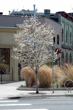 Find Autumn Brilliance® Serviceberry (Amelanchier x grandiflora 'Autumn Brilliance (tree form)') in Inver Grove Heights, Minnesota (MN) at Gertens Service Berry Tree, Landscape Nursery, How To Attract Birds, Shade Trees, Deciduous Trees, Different Plants, Garden Trees, Types Of Soil, Landscaping Plants