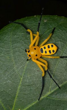 Eight-Spotted Crab Spider (Platythomisus octomaculatus) --  native to southeast Asia.