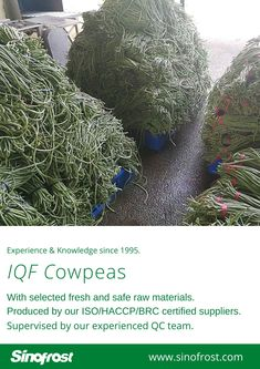 FROZEN ASPARAGUS BEANS IQF ASPARAGUS BEANS FROZEN COWPEAS  IQF COWPEAS  FROZEN ASPARAGUS BEANS SUPPLIER CHINA IQF ASPARAGUS BEANS SUPPLIER CHINA FROZEN COWPEAS SUPPLIER CHINA IQF COWPEAS SUPPLIER CHINA FROZEN VEGETABLES SUPPLIER CHINA FROZEN FRUITS SUPPLIER CHINA  MORE INFO: cwl@sinofrost.com.cn Asparagus Beans, Frozen Vegetables, Raw Materials, China, Raw Material, Porcelain