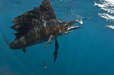 sailfish - Google Search