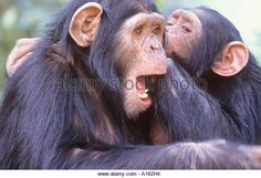 pictures of animals whispering | Rescue chimps are brought to Sweetwaters in Kenya for rehabilitation ...