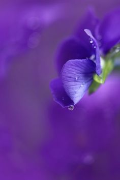 Gorgeous close-up of a flower after the rain. I think it's a violet, but I could be wrong. Purple Love, All Things Purple, Purple Rain, Shades Of Purple, Green And Purple, Purple Flowers, Wild Flowers, Mauve, Or Violet