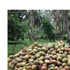 Organic coconut product supplier Coconut, Organic, Vegetables, Food, Essen, Vegetable Recipes, Meals, Yemek, Veggies