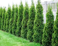 Evergreens That Stop Growing at a Perfect ft. Height - These easy-to-grow hedge trees are perfect for tight areas. Its shimmering emerald color and disease resistance make it an extremely popular evergreen hedge. Your best choice for a mediu Privacy Plants, Privacy Landscaping, Backyard Pool Landscaping, Front Yard Landscaping, Landscaping Ideas, Backyard Ideas, Backyard Landscaping Privacy, Arborvitae Landscaping, Privacy Hedge