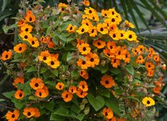 Thunbergia alata 'Super Star Orange' will flower until the first frost...