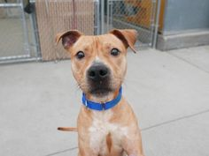 PRYME - A1110304 - - Brooklyn TO BE DESTROYED 05/08/17 A volunteer writes: Pryme is a little sprite with a zest for life and a lot of love for YOU! He has previously lived with adults and children and was very friendly and exuberant with everyone. He loves the two-legged set…and the four-legged set, too! He was playful with the resident cat and his canine sibling and has engaged in rough and rowdy play with other dogs in our care. He is always wagging his tail and i