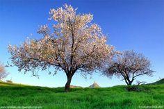 Almendros en flor Tejeda