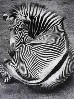 Photo by Wolf Suschitzky - Grevys Zebra, Amsterdam, 1992.