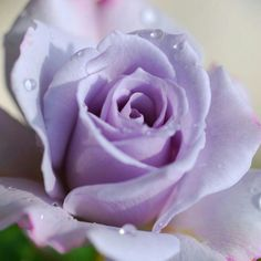 Rose violet - this takes my breath away. I have always loved lavender roses! Love Rose, My Flower, Pretty Flowers, Silver Roses, Purple Flowers, Red Roses, Silver Ring, Silver Earrings, Purple Colors