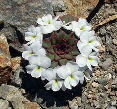 Fractals and Sacred Geometry in nature Rock Flowers, Exotic Flowers, Beautiful Flowers, Alpine Flowers, Cacti And Succulents, Planting Succulents, Planting Flowers, Geometric Patterns, Geometric Shapes