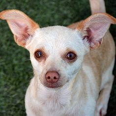 "Howdy, I'm Lucy! I'm a 2-year-old, 7 lb., spayed female Chihuahua with a short, tan coat and some of the longest ears around! I'm a super smart little lady who loves to work for food. I know my name and will ""sit"" and ""stay!"" I also like to cuddle, and will happily hang out in your arms or lap and give you tons of puppy kisses. I would be a great choice for a first-time owner, and I get along well with kids and other dogs. Ask for Lucy, ID# A803918."