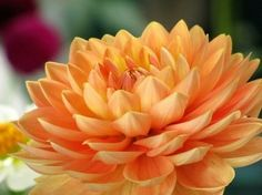 Dahlia meaning: Elegance and dignity