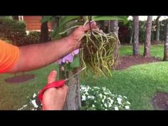 Tree Roots Landscaping Backyards 25 Ideas For 2019 Orchid Tree, Orchid Plants, Hanging Orchid, Hanging Plants, Palm Tree Drawing, Orchid Roots, Landscape Solutions, Growing Orchids, Celtic Tree Of Life