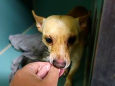 SAFE --- TO BE DESTROYED - 12/13/14 Manhattan Center ***  My name is MACHO. My Animal ID # is A1022637. I am a male tan and white chihuahua sh mix. The shelter thinks I am about 2 YEARS   I came in the shelter as a STRAY on 12/08/2014 from NY 10468, owner surrender reason stated was STRAY. https://www.facebook.com/photo.php?fbid=921044991241714