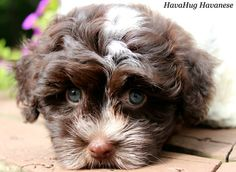 Chocolate Havanese Puppy Dog <3 Henry <3   www.havahughavanese.com