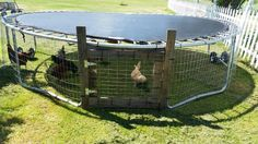 Trampoline turned into chicken tractor