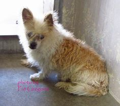 A3283618 My name is Toy. I am an 8 yr old neutered male brown/white Terrier mix. My owner left me here on October 23. available now Baldwin Park, California
